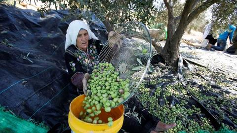 Israeli settlements threaten olive harvest in occupied West Bank