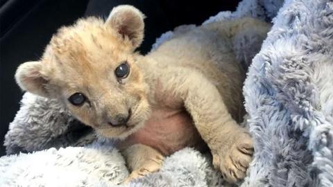 Lion cub found in French garage