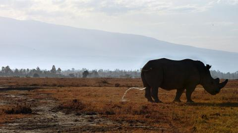 Forget social media, rhinos get their news from poo piles