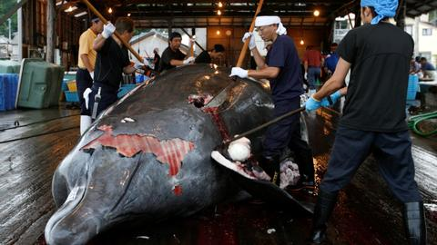 Japan says it will leave IWC to resume commercial whaling