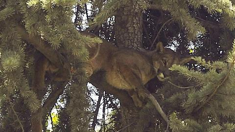 Wild puma rescued from tree in Chilean capital