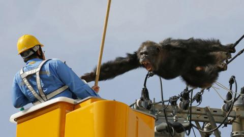 Chimp caught after escaping zoo in Japan