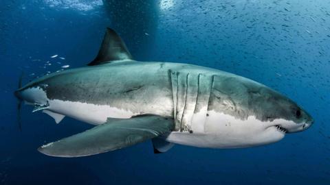 Genetic secrets of great white shark revealed
