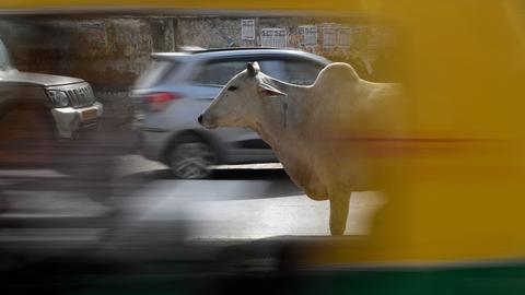 Cows come home to haunt India's Modi