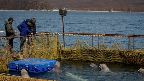 Russia to free nearly 100 captive whales after outcry