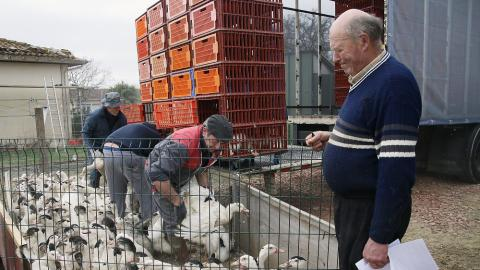 Spain to cull 7,000 ducks due to bird flu outbreak