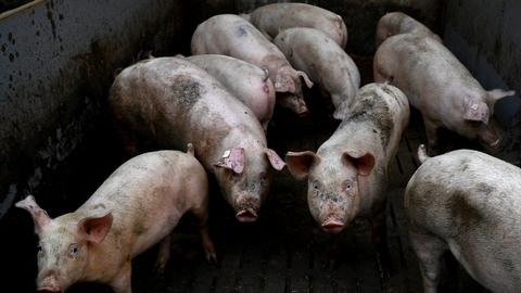 Scientists spur some activity in brains of slaughtered pigs