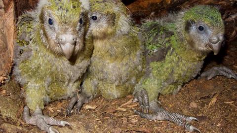 Endangered Kakapo sees population boost