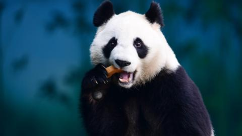 China looks to recognise Pandas with app