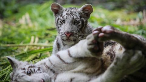 Two rare white tiger cubs find new home in Nicaragua