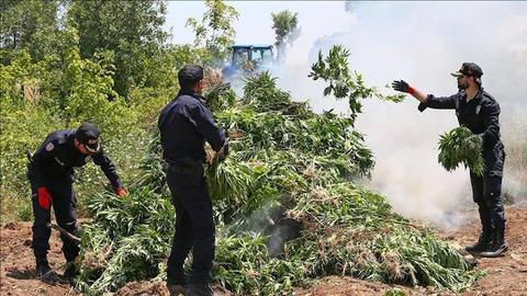 Turkey seizes 5.5M cannabis plants