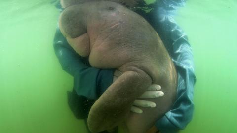 Baby dugong dies in Thailand with plastic in stomach