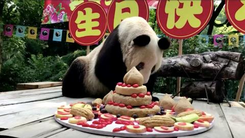 World's oldest panda celebrates 37th birthday