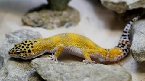 'Our heroes are not geckos': Naming of Sri Lanka lizards sparks uproar