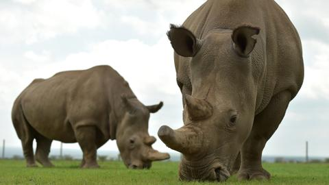 Scientists create embryos to save northern white rhinos