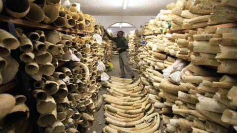 Can Zimbabwe's tainted elite be trusted with windfall from ivory trade?