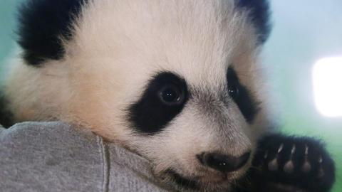 Bei Bei set to leave for China to help breed Panda specie