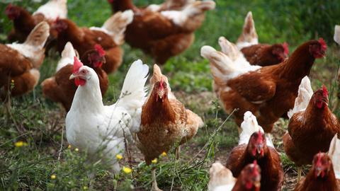 Croatian footballer in trouble for killing chicken on pitch