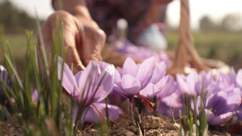 Saffron - the golden spice that grows in Turkey's Safranbolu