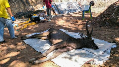 Thai deer found dead with 'plastic bags and underwear' in stomach