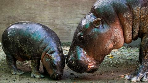 Thai zoo invites people to name baby pygmy hippo