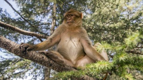 Morocco struggles to protect its iconic monkey