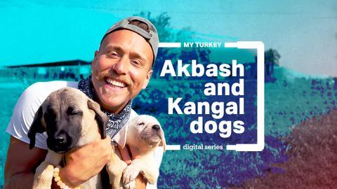 My Turkey: Native dog breeds Kangal and Akbash