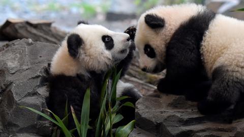 Berlin's panda twins ready for public debut