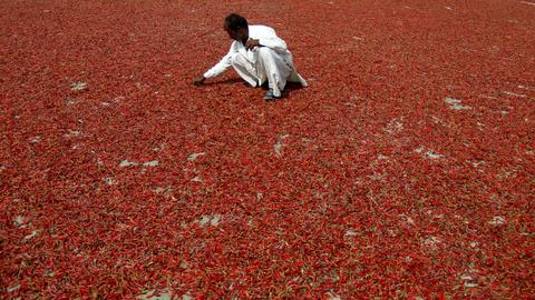 Climate change threatens red chilli harvest in Pakistan's Sindh province