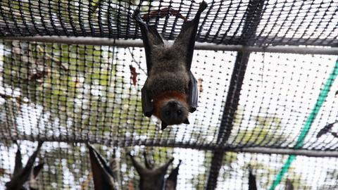 Bats take over Australian town, outnumbering the town's population