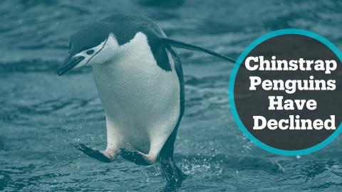 Chinstrap penguin population plunges 77% in past 50 years