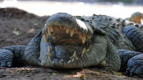 Russian tourist killed by saltwater crocodile in Indonesia