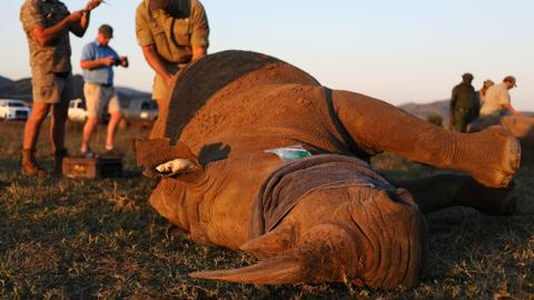 South Africa dehorns rhinos to curb poaching surge