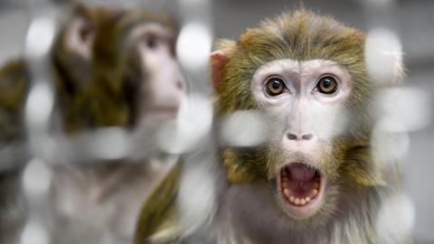 Monkeys infected with new coronavirus developed short-term immunity