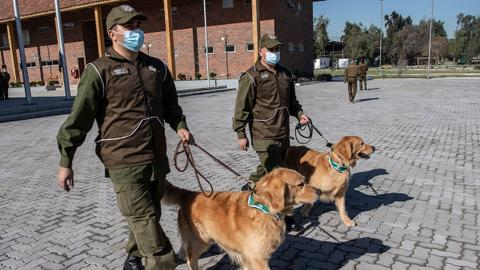 Chile trains dogs hoping they can sniff out Covid-19 symptoms