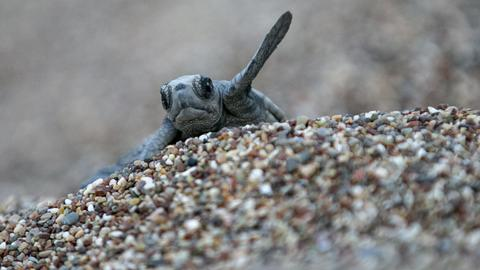 Caretta caretta sea turtles set up nests on Turkey's beaches