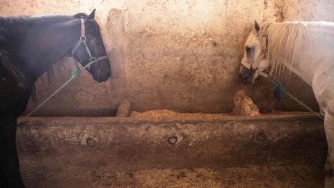Carriage horses face starvation as Morocco tourism collapses