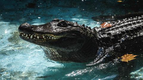 World's oldest captive alligator celebrates 83 years in Serbia