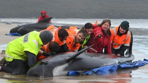 Rescuers find record 470 whales stranded in Australian harbour