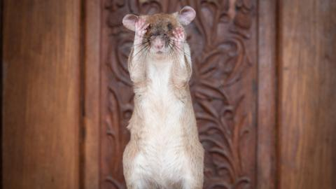 Magawa the rat wins a medal for sniffing out landmines in Cambodia