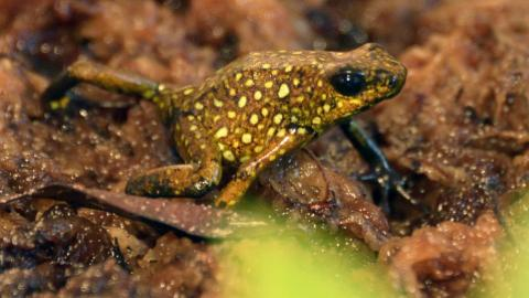 Ecuador sells frogs to protect them from poaching