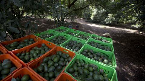 Mexico's avocado boom poses environmental challenge
