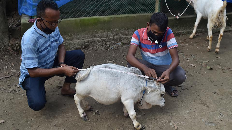 Hundreds flock to see 'world's shortest' cow in Bangladesh