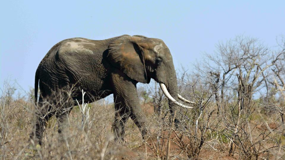 An elephant's skin is thick but sensitive. The animals will try to avoid a bee sting whenever possible, experts say.