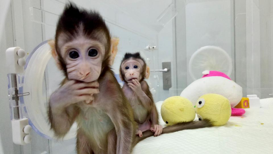 The First Monkeys Have Been Created In A Lab Are Humans Next