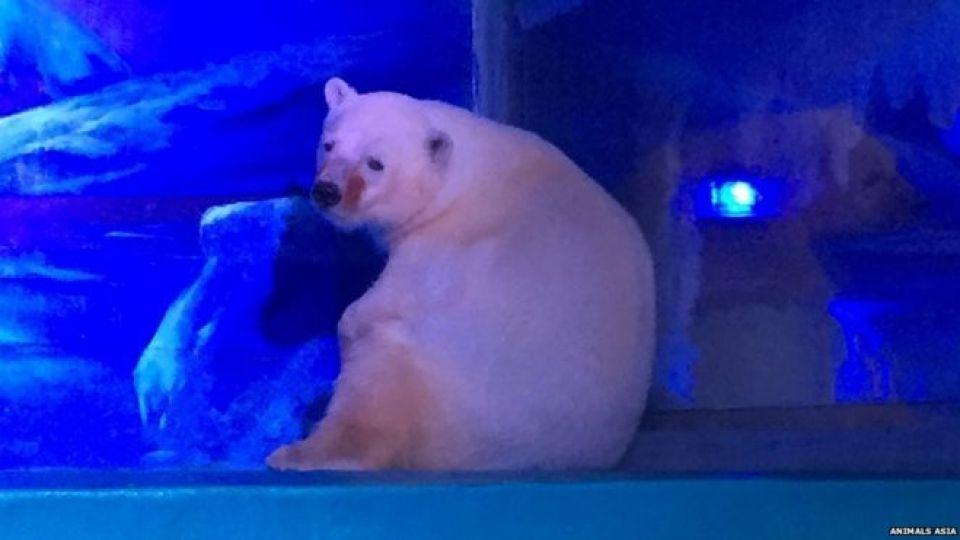 Pizza the polar bear in his enclosure in China. Image: Animals Asia.