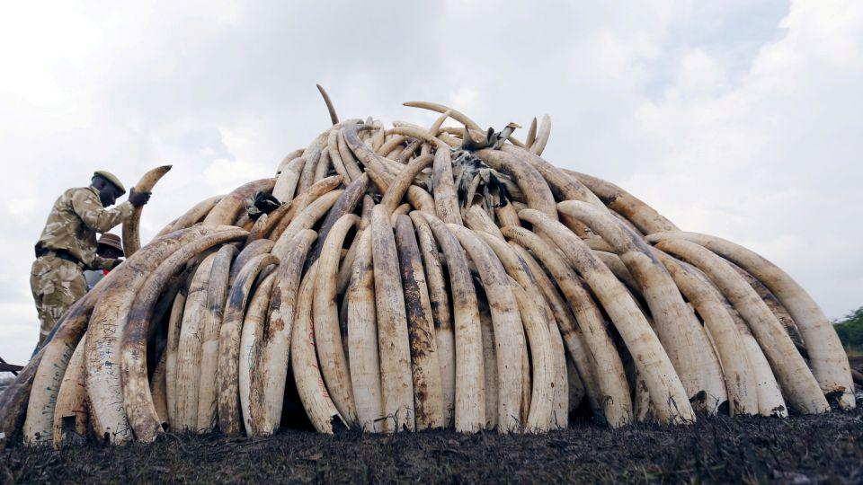 A Kenya Wildlife Service ranger stacks elephant tusks, part of an estimated 105 tonnes of confiscated ivory to be set ablaze, on a pyre at Nairobi National Park near Nairobi, Kenya, April 20, 2016.