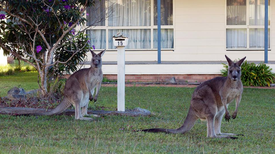 Some scientists advocate the mass killing of kangaroos to protect the wildlife in Australia.