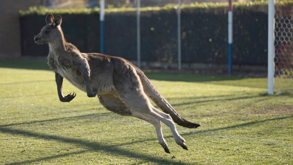 A kangaroo interrupts the match between Canberra Football Club and Belconnen United in Canberra on June 24, 2018.