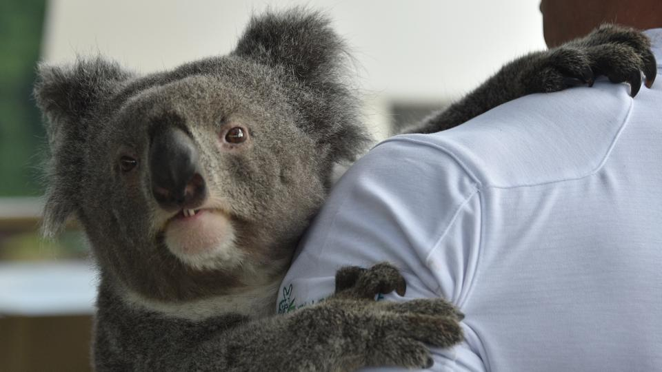Australia's iconic koala, its very existence imperilled by disease, bushfires, car strikes, and dog attacks, faces a more hopeful future thanks to scientists cracking its genetic code, a study said on July 2, 2018.